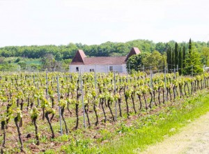 View of a french vineyard in the sun, with the farmhouse in the distance.